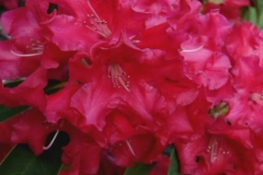 Red Rhododendron Loop